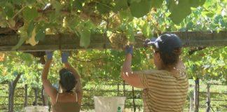 Rías Baixas despide a vendima con 38,5 millóns de quilos de uva recollida
