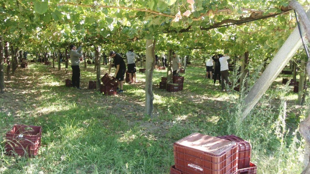 A vendima adiántase para a elaboración dos viños escumosos